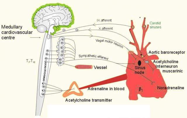 Gambar-1.-Pengaturan-fungsi-jantung-oleh-sistem-syaraf-otonomik
