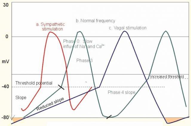 Gambar-2.-Pengaruh-sistem-syaraf-otonomik-stimulasi-simpatetik-dan-vagal-terhadap-rate-sinoatrial.-Sumbu-tegak-menyatakan-potensial-membran-dan-sumbu-datar-menyatakan-waktu